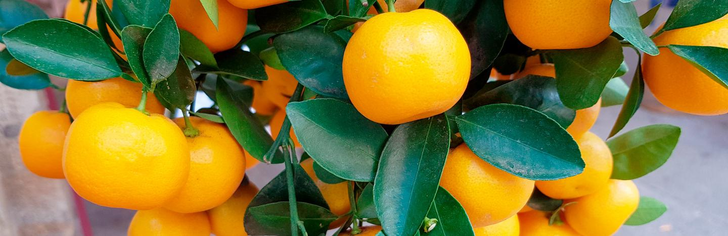 How To Grow And Care For Oranges Lovethegarden