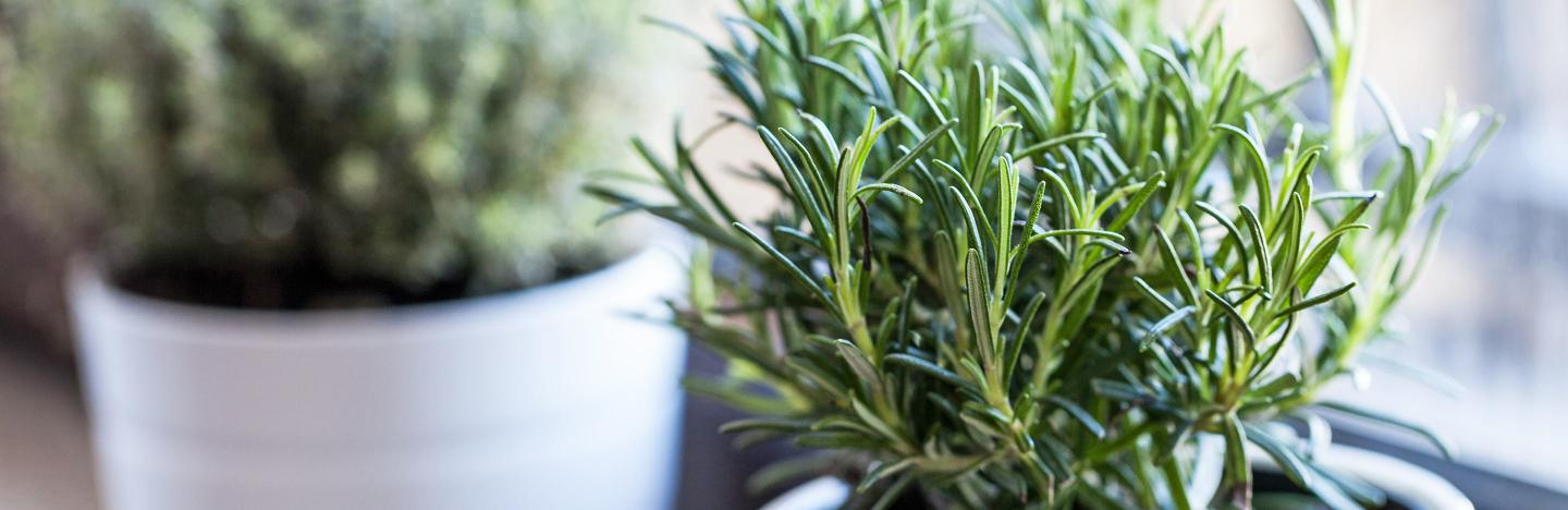 How To Grow And Care For Rosemary Lovethegarden