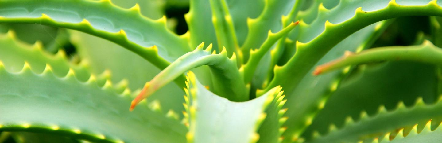 How To Grow And Care For Aloe Vera Lovethegarden