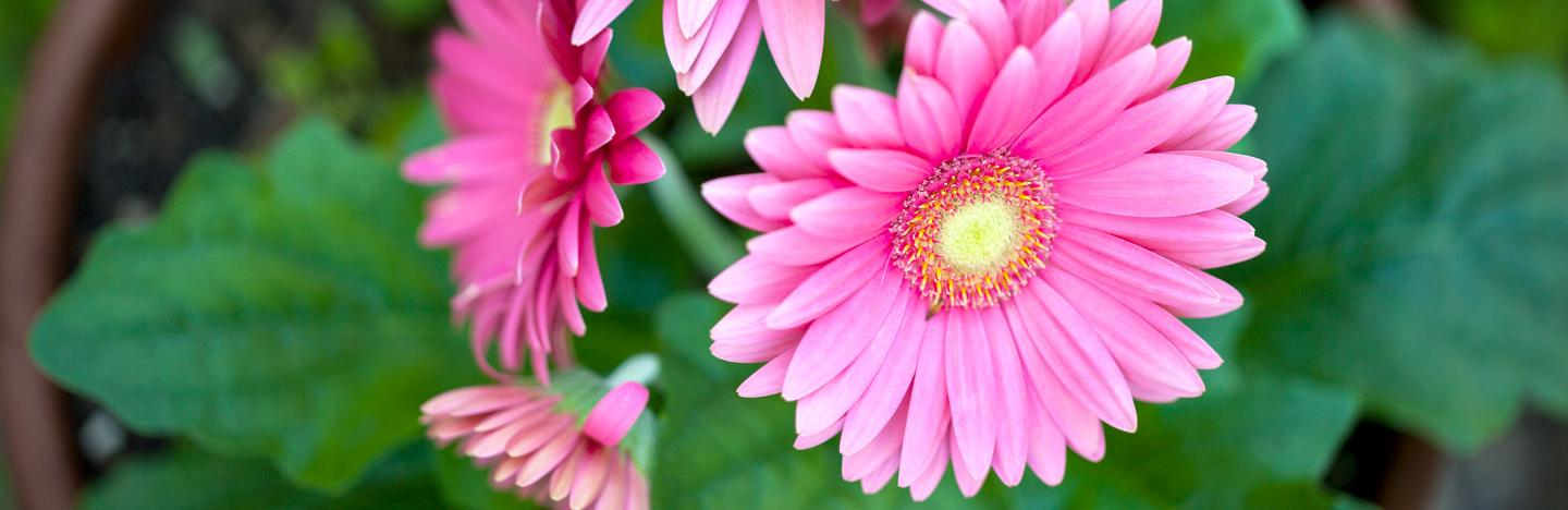 How to grow gerbera and transvaal daisy | thegarden Flower And House Plants That Shoot Up on house plants with colorful leaves, indoor plant identification by flower, house plants and their names, house plant propagation, shrubs that flower, house plant white flower, house plant with curly leaves, house identify plant by leaf, house plant pink flower, house with flowers, house plant with heart shaped leaves, indoor plant with white flower, house plants with red veins, palms that flower, house plant identification succulent plant, house plant with green leaves and white, indoor flowering plants flower, grass that flower, house plants with large leaves, house plants for fall,