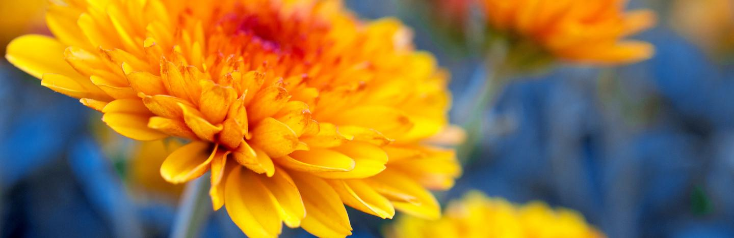 How To Grow And Care For Chrysanthemums Lovethegarden