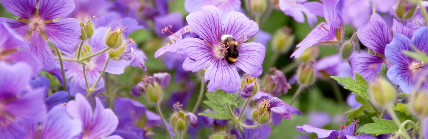 How To Grow And Care For Hardy Geraniums Cranesbill Lovethegarden
