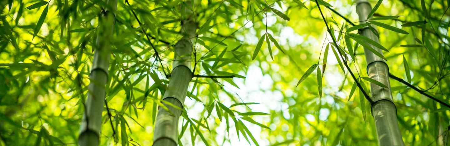 Bamboos (various species)