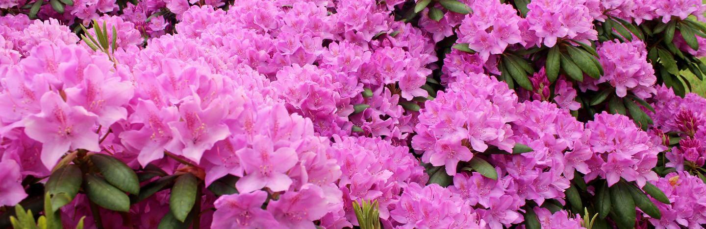 Rhododendrons And Azaleas Lovethegarden