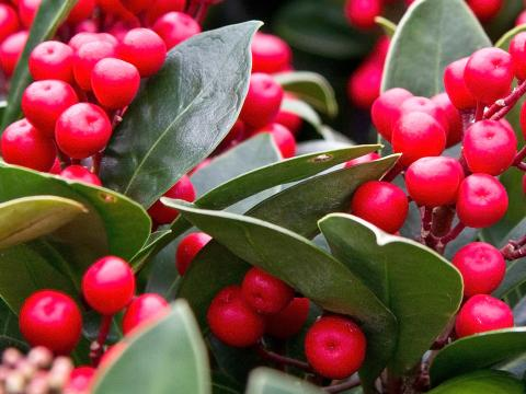 How To Grow And Care For Skimmia Lovethegarden