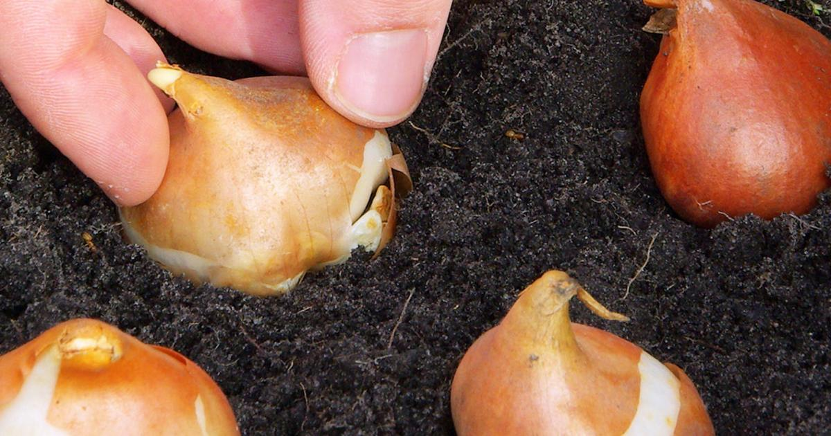 A Guide To Planting Bulbs Corms amp Tubers Love The Garden