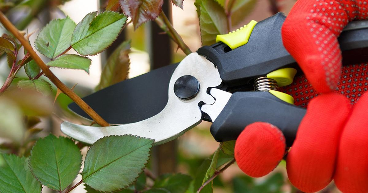 Pruning roses how and when to make the cut lovethegarden