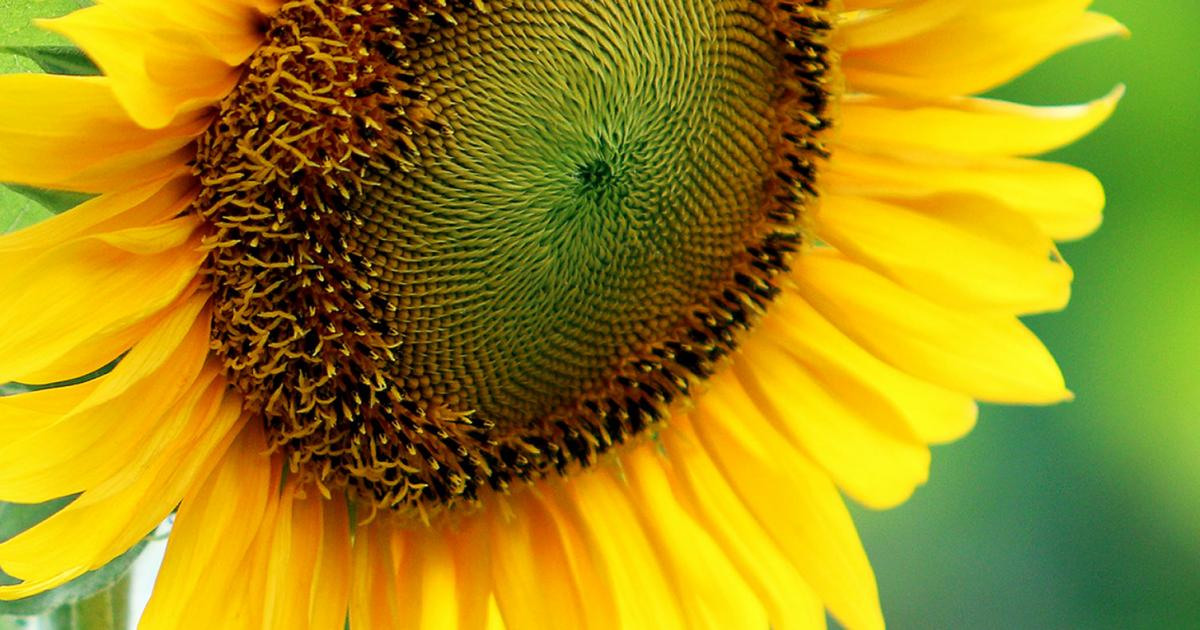 A Guide To Success With Sunflowers Love The Garden