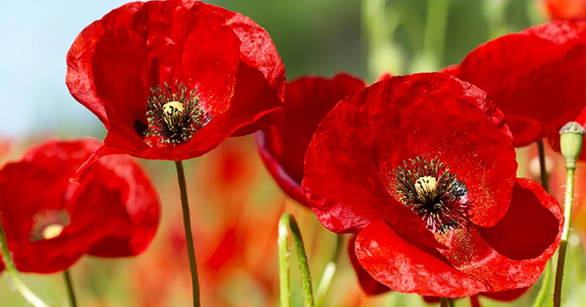How To Grow Care For Your Poppies Lovethegarden