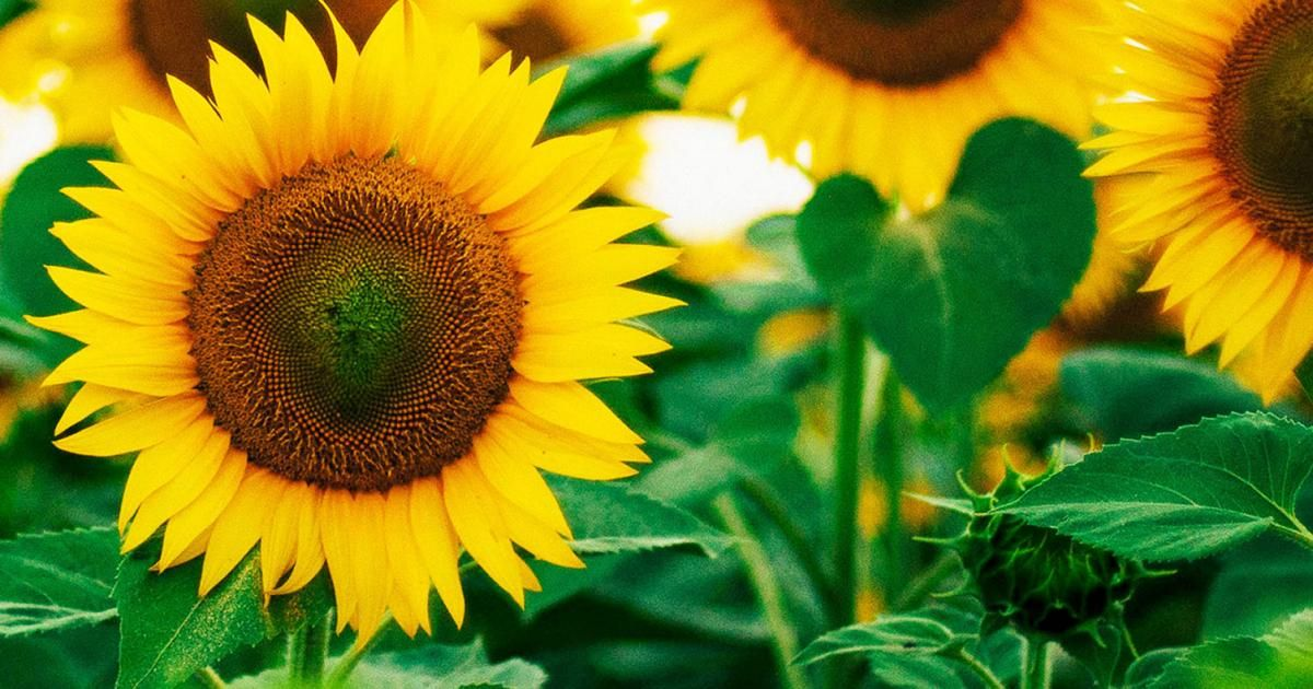 How to Grow Sunflowers Love The Garden