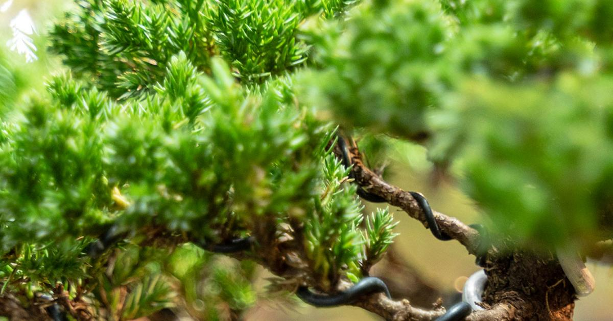 How To Grow And Care For A Bonsai Tree   Love The Garden