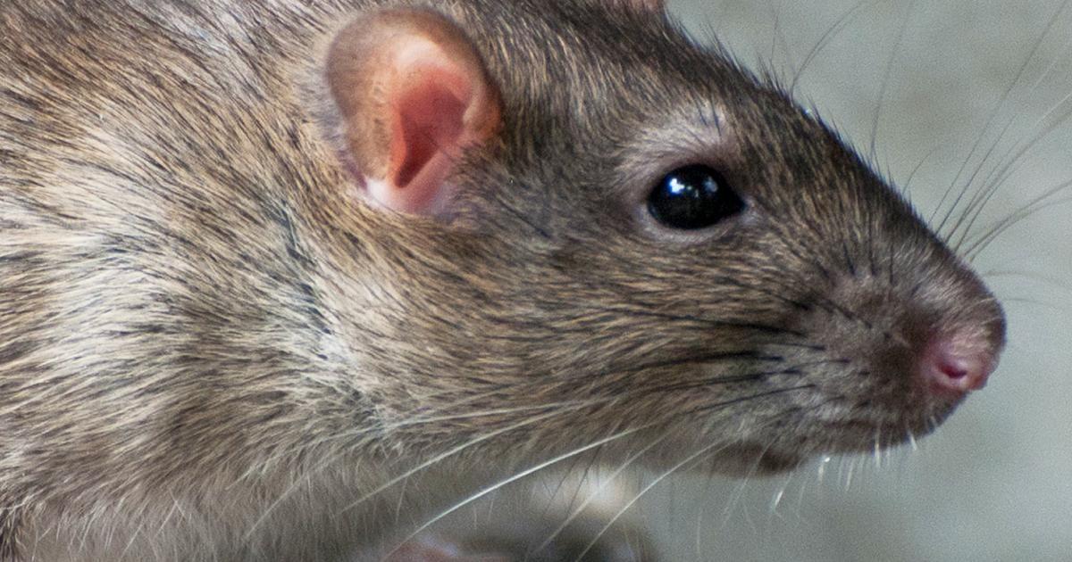 comment se d barrasser des rats la pause jardin. Black Bedroom Furniture Sets. Home Design Ideas