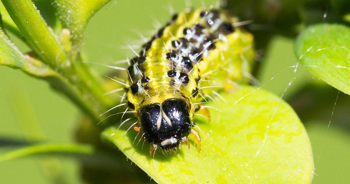 Box Tree Caterpillar Treatment And Control Lovethegarden