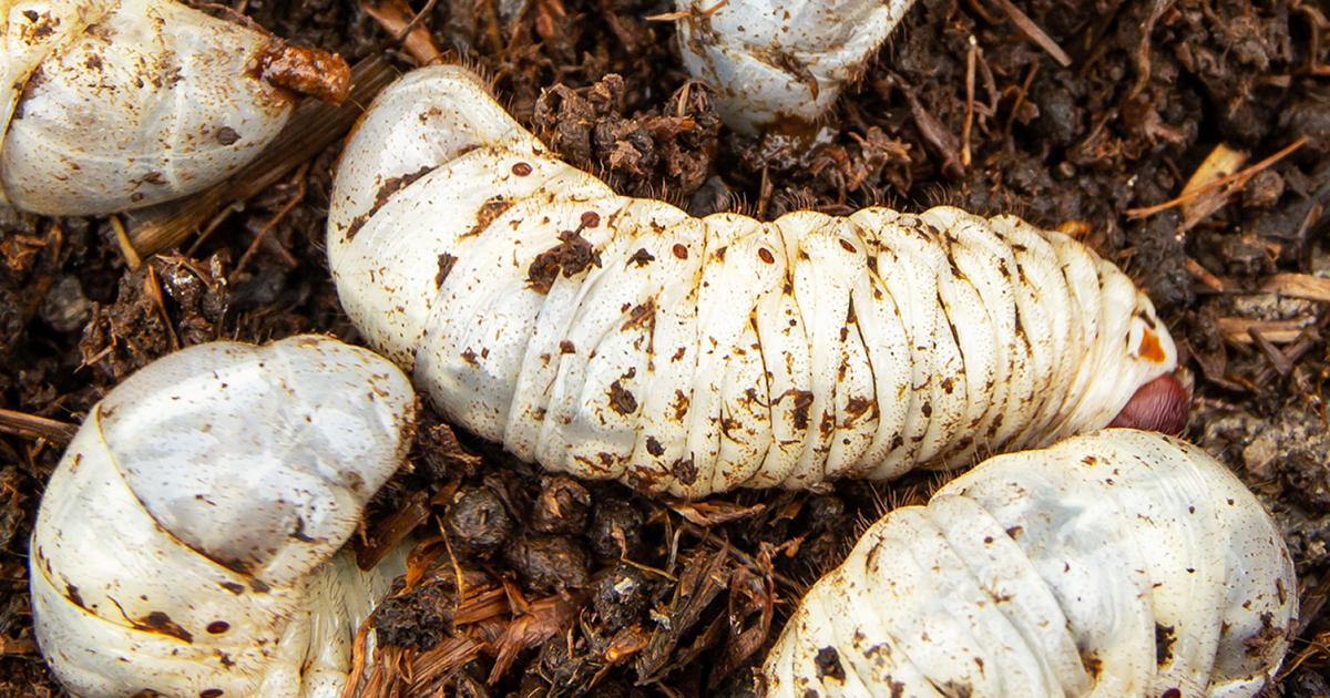Chafer grubs treatment and control lovethegarden