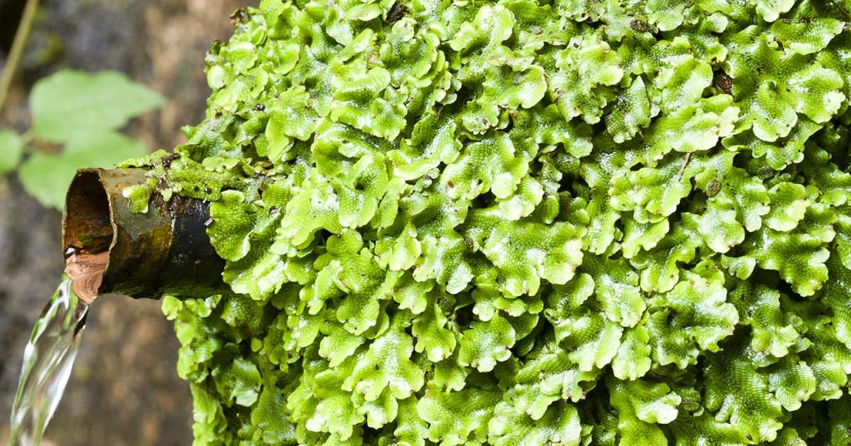 Liverworts Treatment And Control Love The Garden