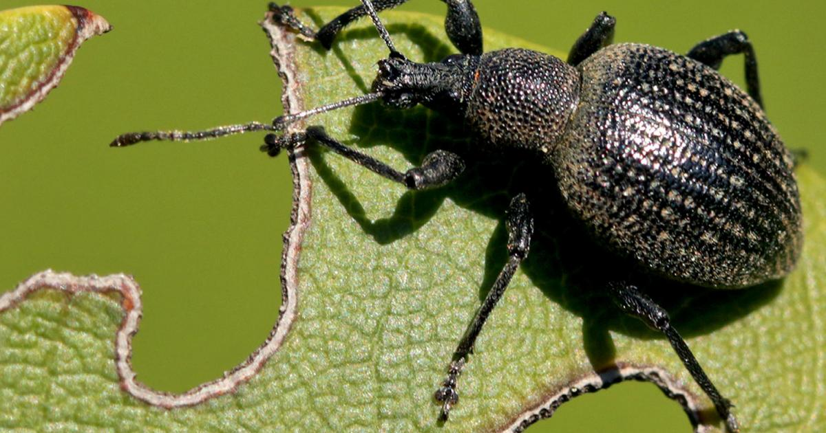 Vine weevils treatment and control lovethegarden
