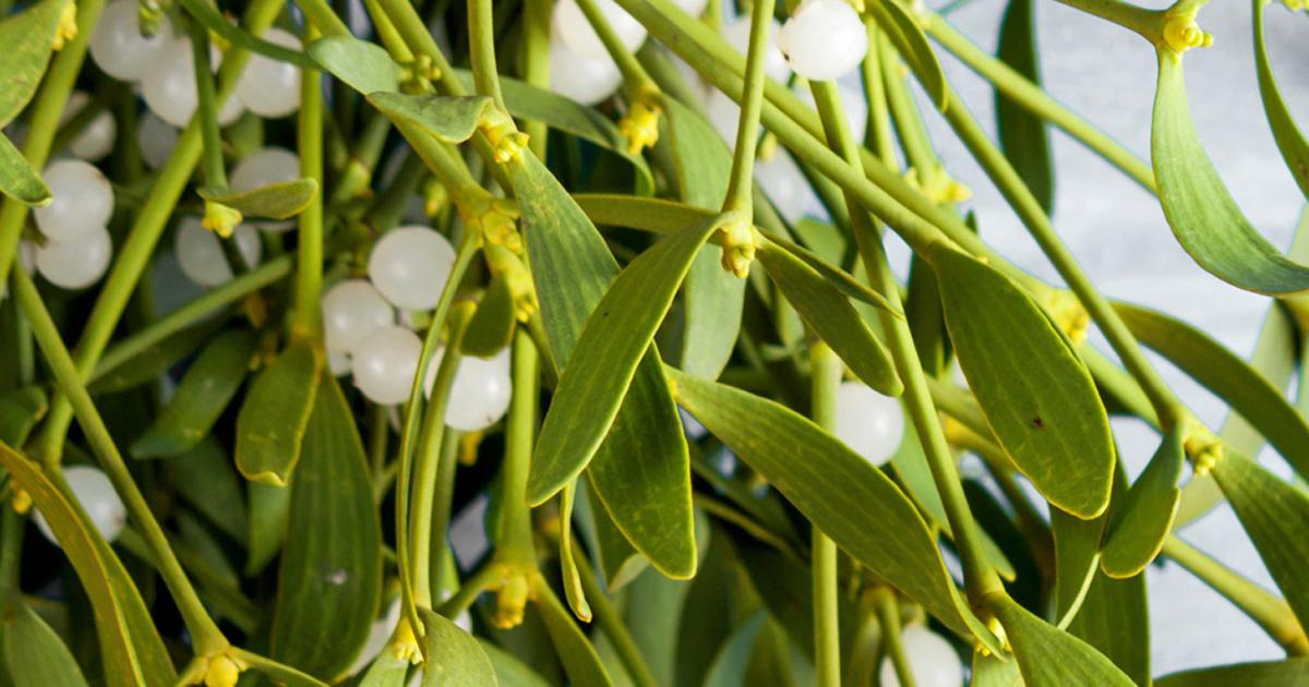 What Happens If You Eat Mistletoe Love The Garden