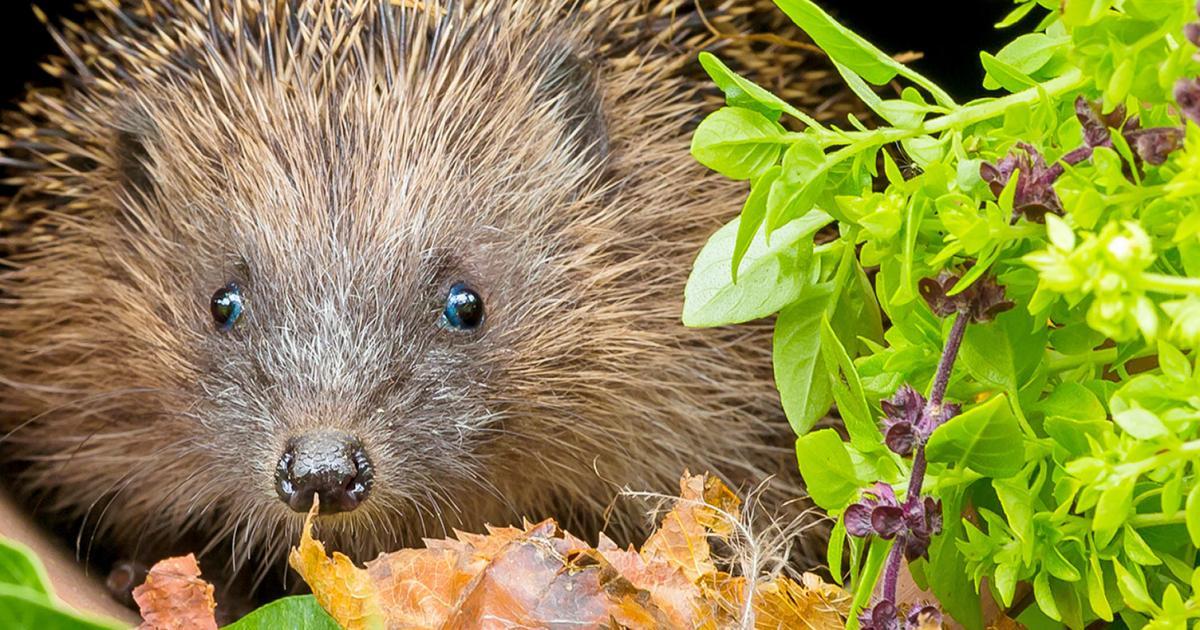 15 Hedgehog Facts For Kids Lovethegarden