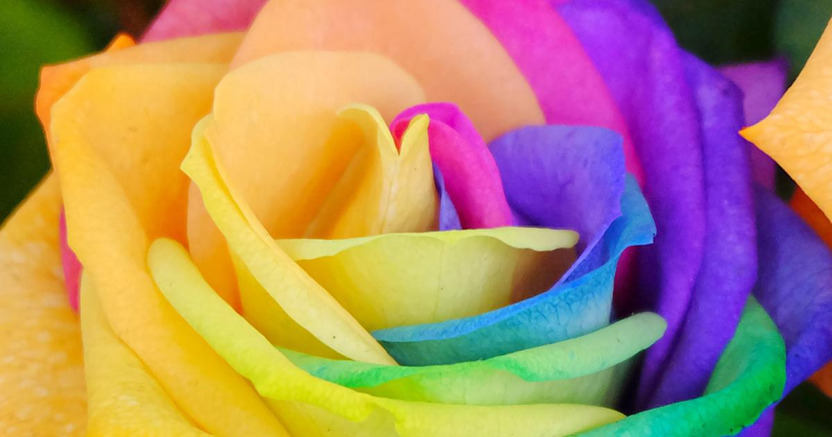 Rainbow roses: are they real? | lovethegarden