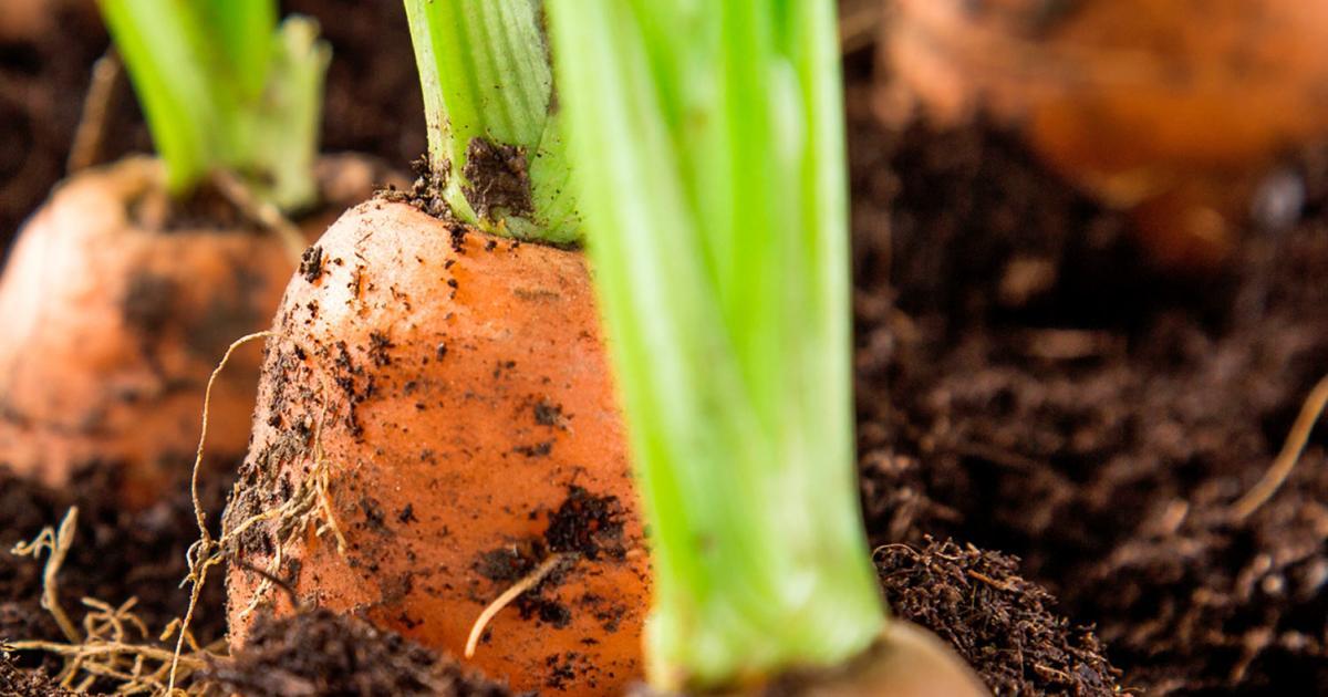 How to use chicken manure pellets | lovethegarden