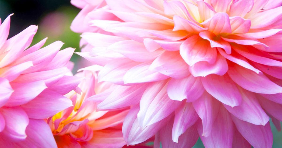 How to grow and care for dahlias | lovethegarden