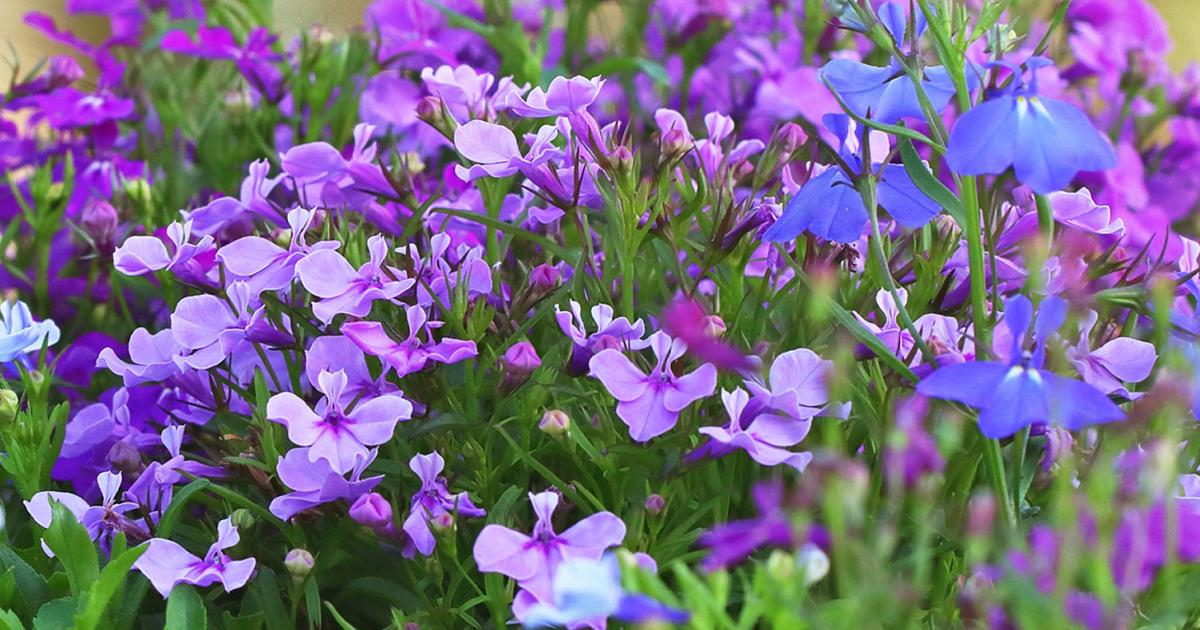 How To Grow Lobelia And Cardinal Flower Lovethegarden