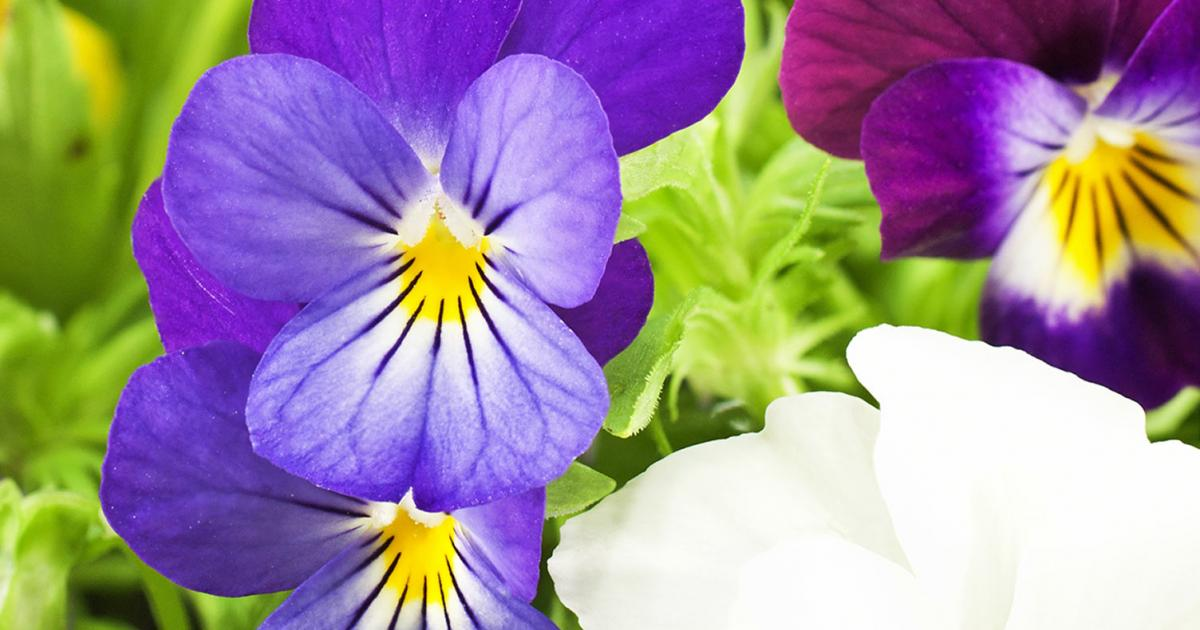 How to grow pansies and violets lovethegarden