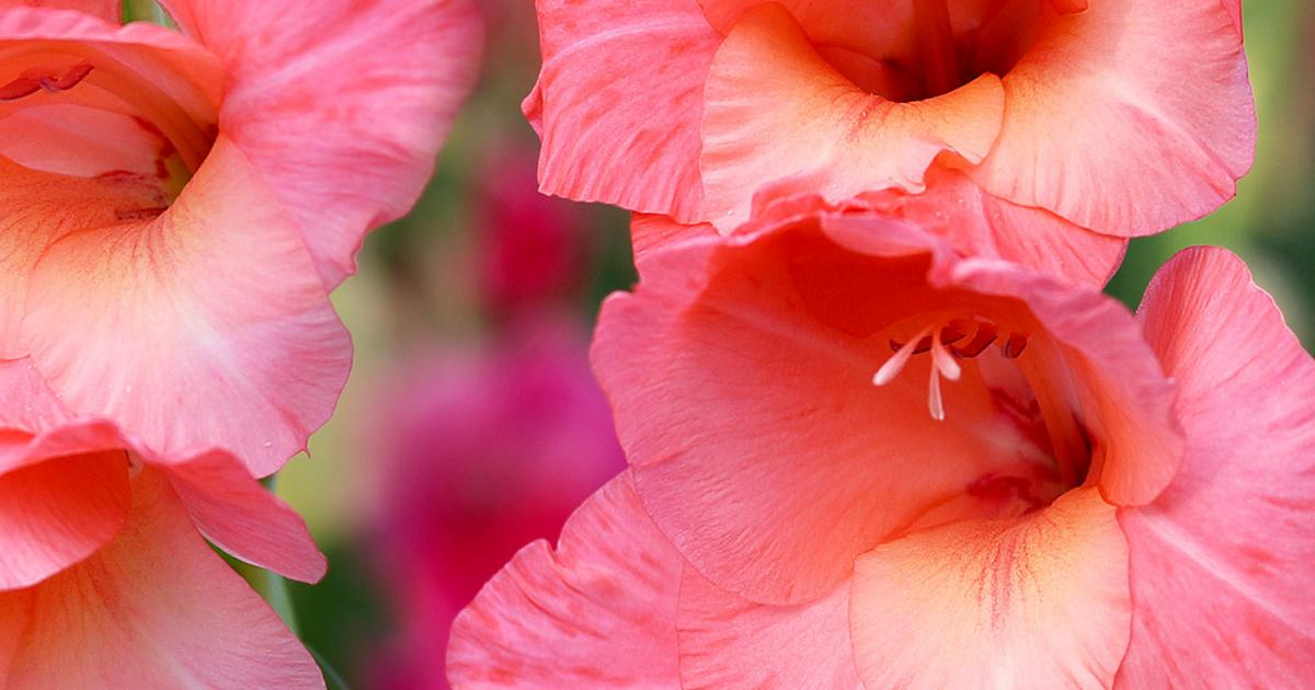 How To Grow And Care For Gladioli