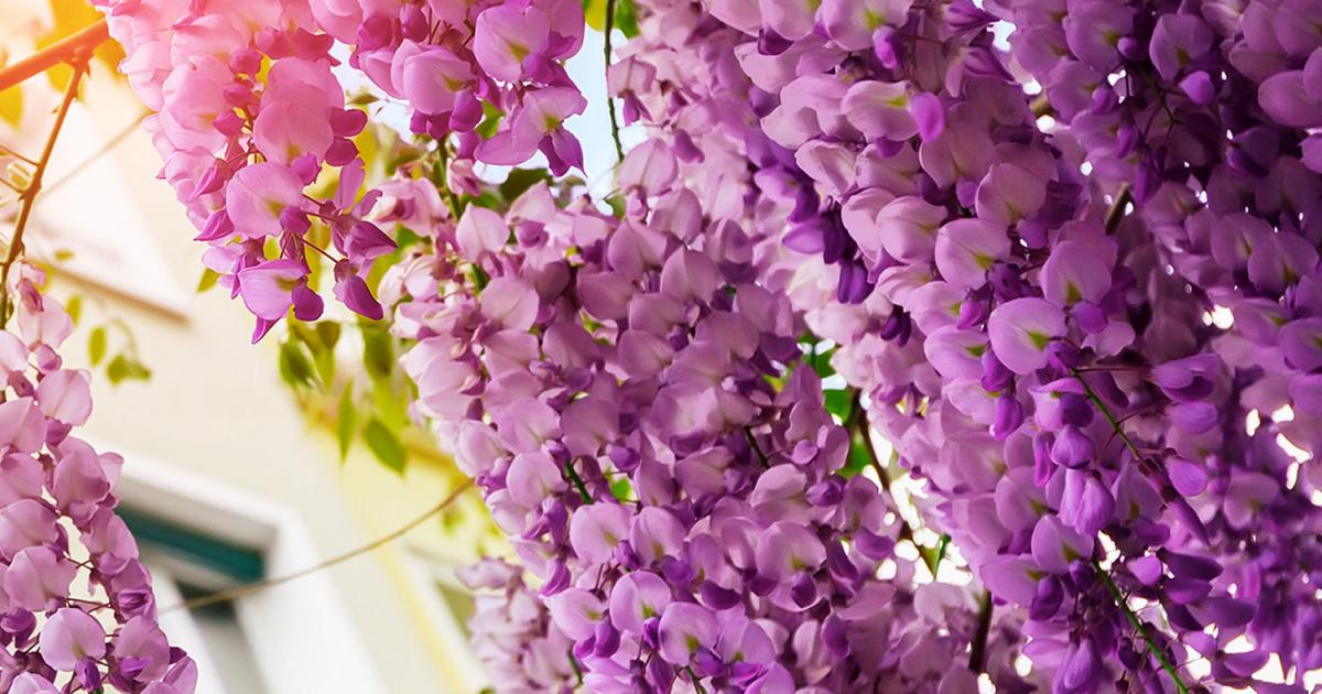 How to grow and care for wisteria Love The Garden