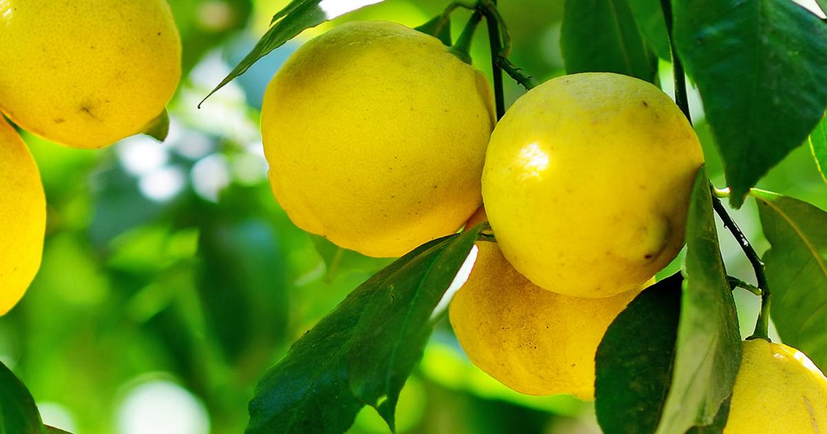 How to grow and care for lemons lovethegarden