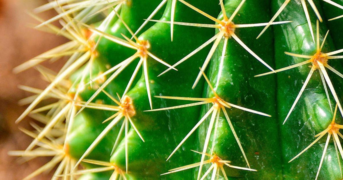 cactus d 39 int rieur la pause jardin tous sur l 39 entretien. Black Bedroom Furniture Sets. Home Design Ideas