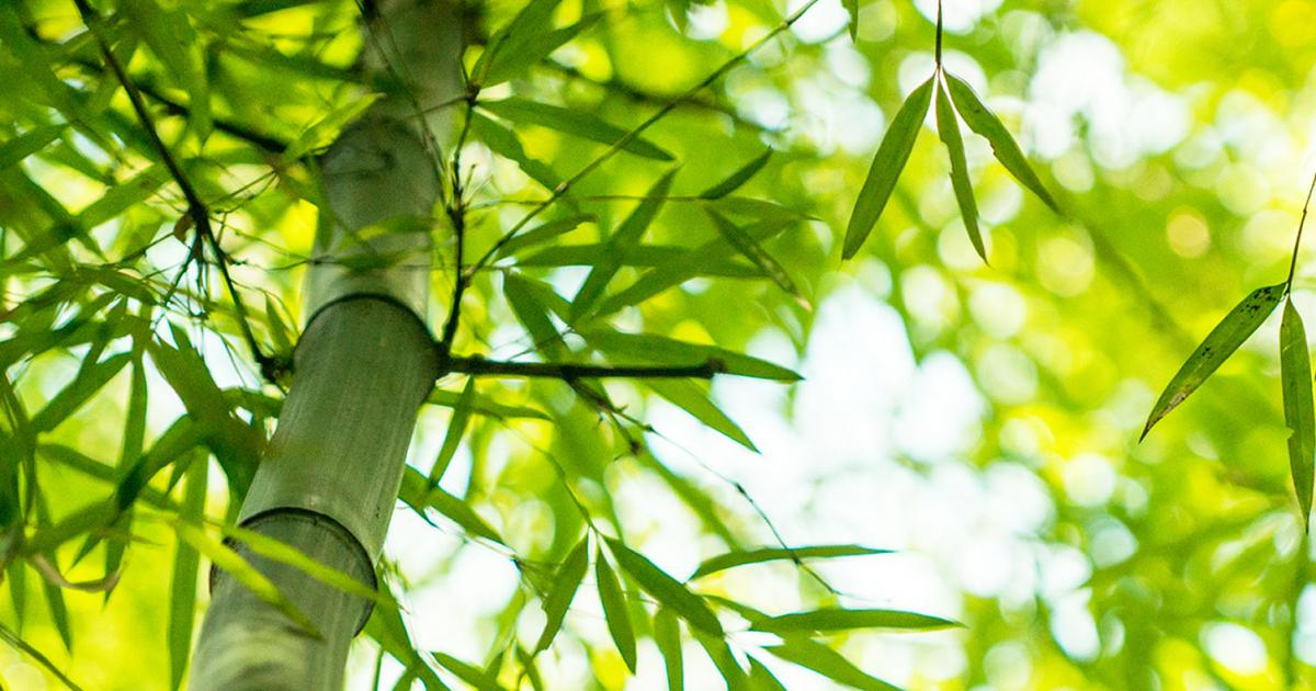 How To Grow And Care For Bamboo Lovethegarden
