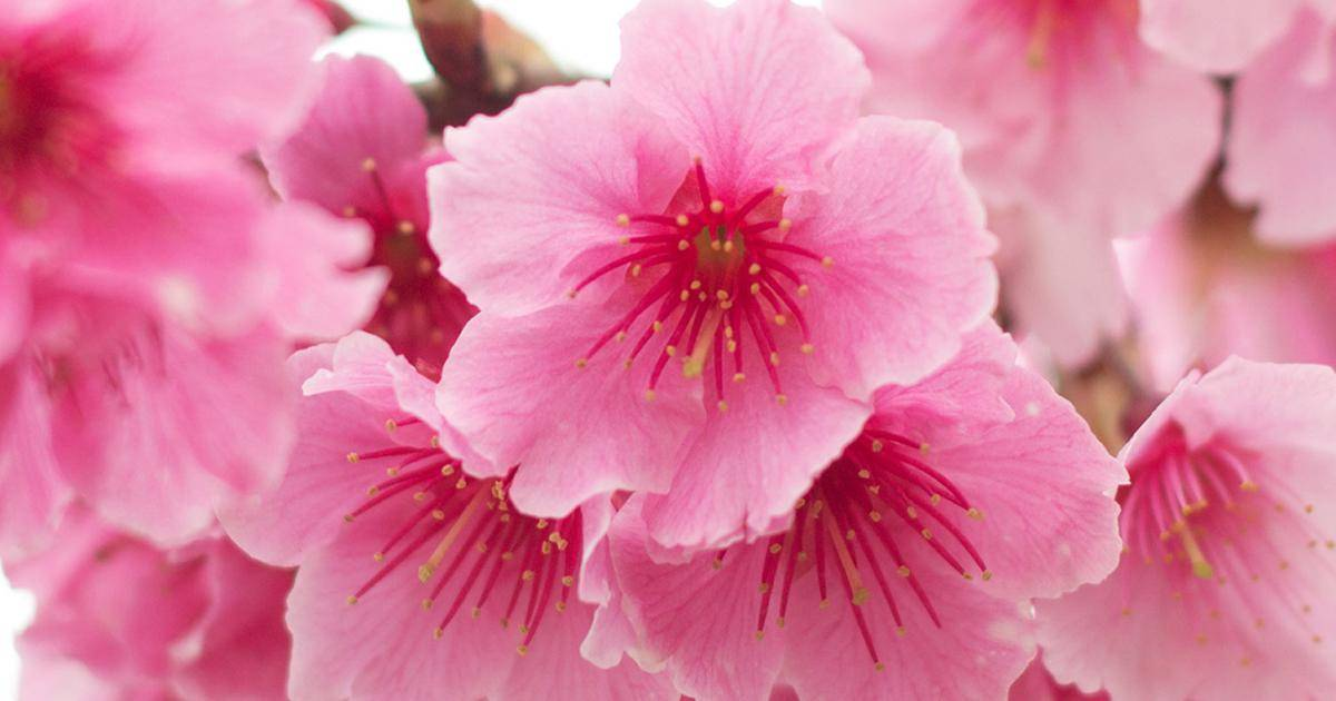 How To Grow A Flowering Cherry Tree Lovethegarden