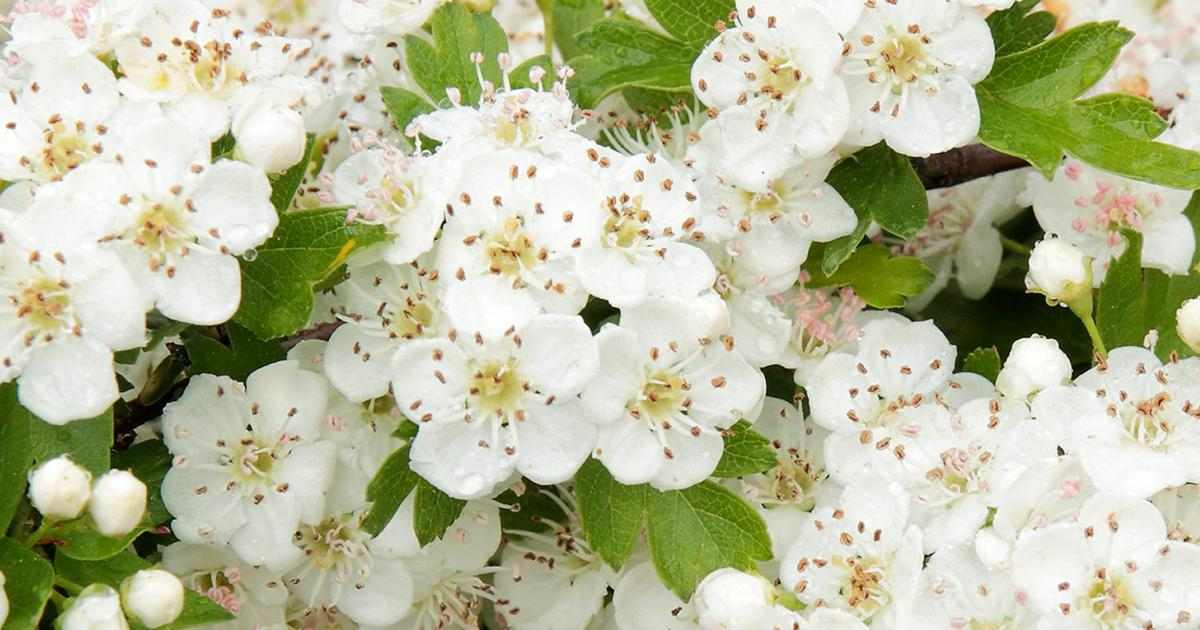 How to grow and care for hawthorn lovethegarden